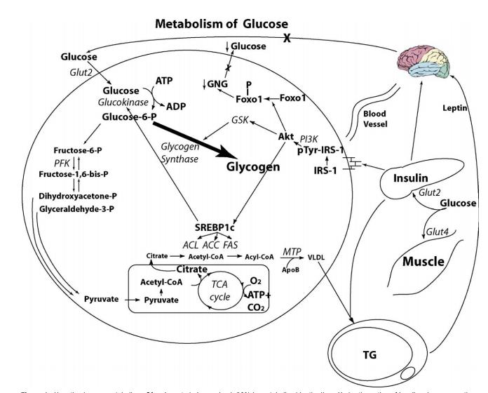 Glucose lustig1