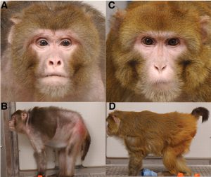 rhesus-monkeys-calorie-restriction1
